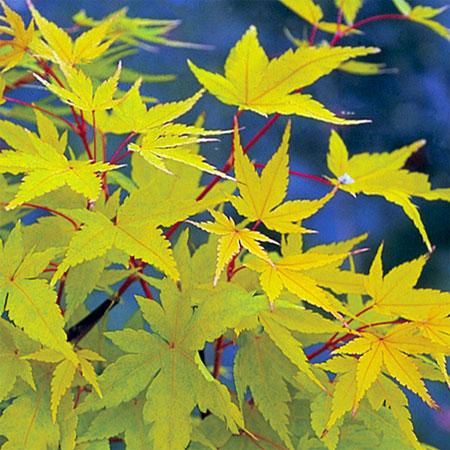 Arbuste erables acer senkaki sango kaku p pini res - Arbre feuille rouge toute l annee ...