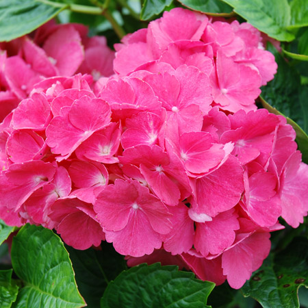 Hortensia hortensia red baron p pini res stervinou plantes de terre de bruy re - Quelle terre pour hortensia ...