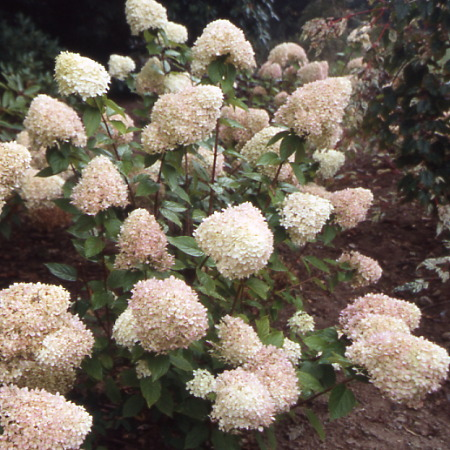 hortensia arbustifs au soleil hydrangea paniculata limelight p pini res stervinou. Black Bedroom Furniture Sets. Home Design Ideas