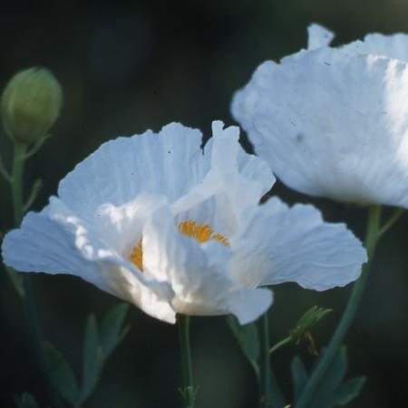Arbuste arbustes n z romneya coulteri p pini res - Bande de bruyere ...