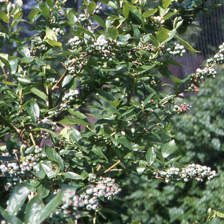 arbuste arbustes n z vaccinium corymbosum p pini res stervinou plantes de terre de bruy re. Black Bedroom Furniture Sets. Home Design Ideas