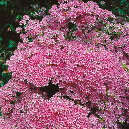 azal e du japon jardin rose azal e hinomayo p pini res stervinou plantes de terre de. Black Bedroom Furniture Sets. Home Design Ideas
