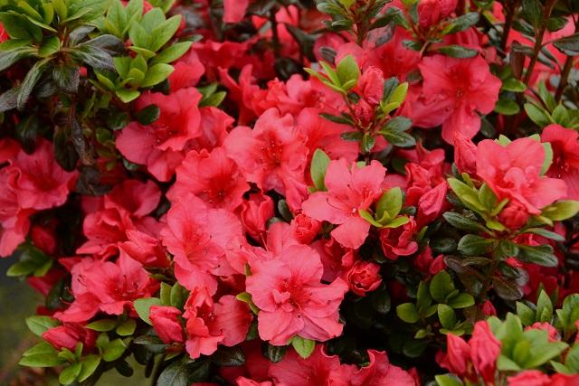 Azal e du japon azal e johanna p pini res stervinou plantes de terre de bruy re - Plante de terre de bruyere ...