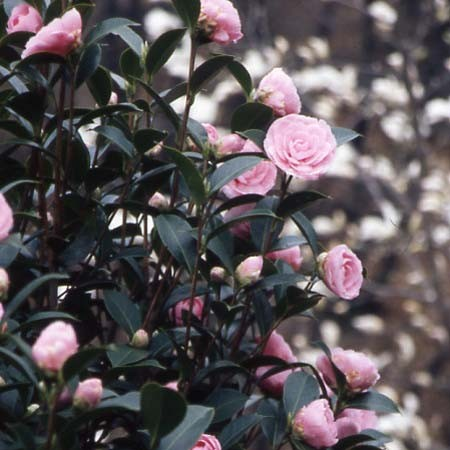 Photo 1 Camellia E.G. Waterhouse