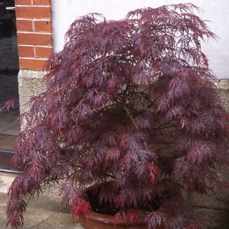 Photo 1 Acer dissectum Crimson Queen