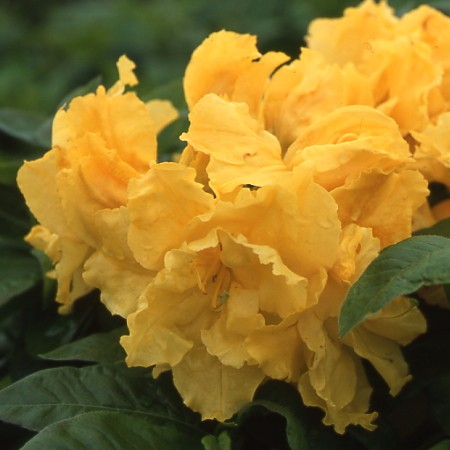 azalea Frilly Lemon