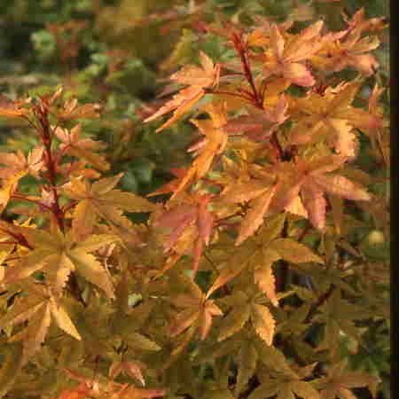 Photo 1 Acer Winter Flame