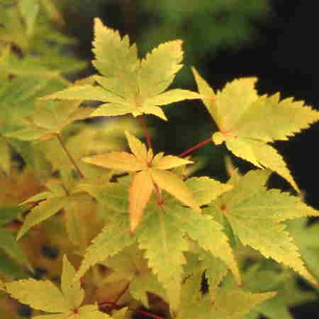 Photo 2 Acer Winter Flame