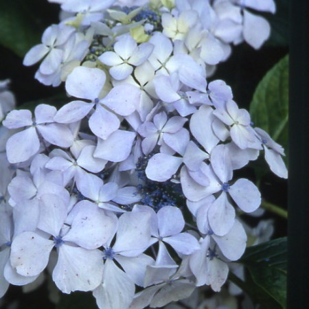 Hortensia Beaut� Vendomoise