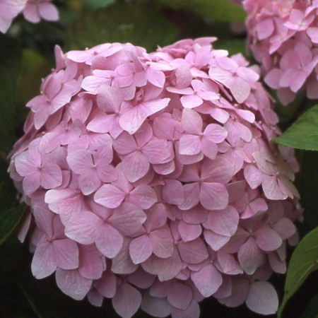 Photo 2 Hortensia Mousseline