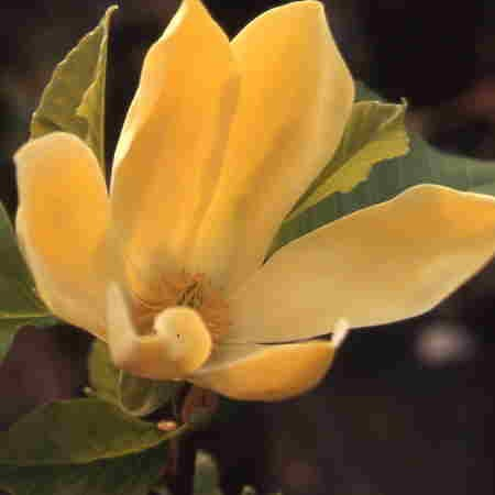 Magnolia Golden Joy