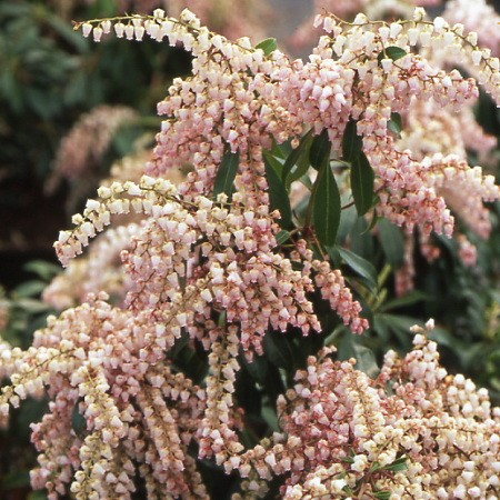 Pieris Valley Valentine