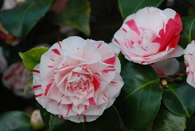 Camellia Lavinia Maggi