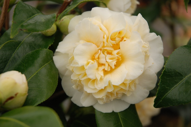 Camellia Jury S Yellow