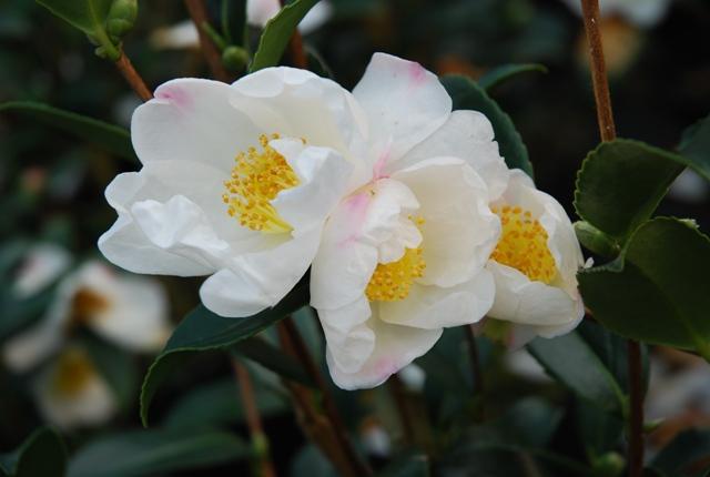 Camellia survivor - Camelia resistance au froid ...