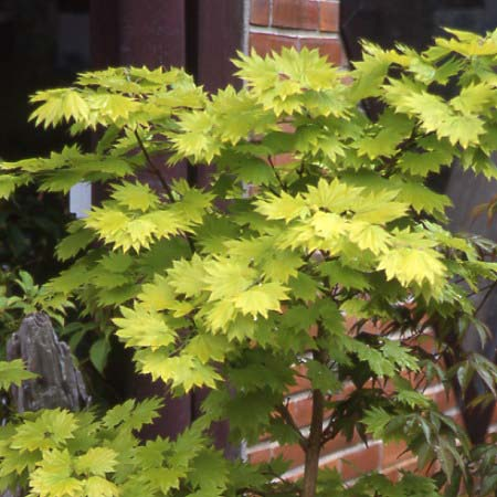 Acer Japonicum Shirasawanum Aureum