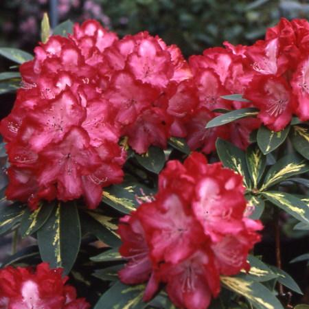 Rhododendron president roosevelt - Rhododendron ne fleurit pas ...
